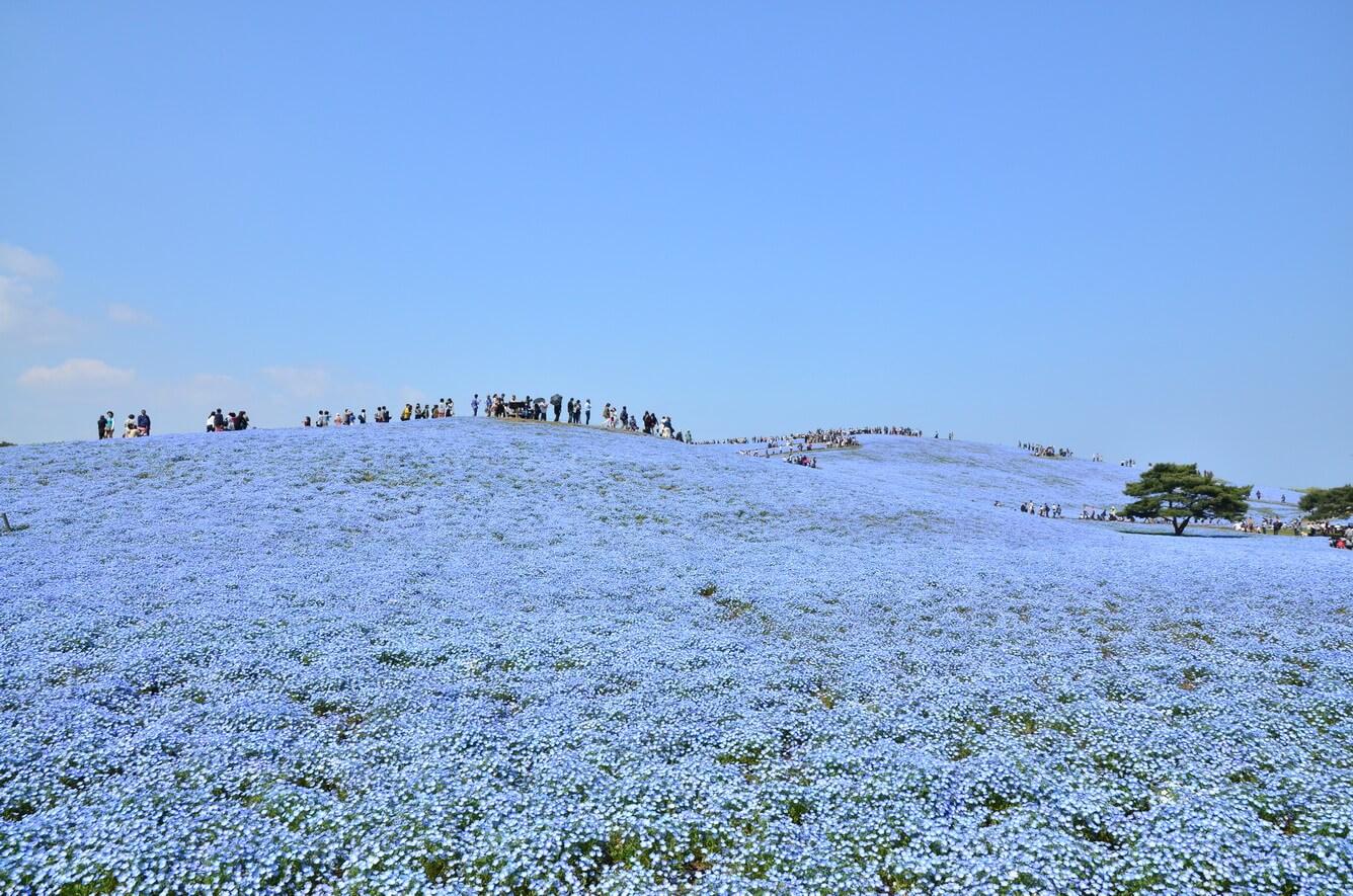 , Từ hoa anh đào cho đến Nemophila, mùa xuân ở Ibaraki là mùa của các loại hoa